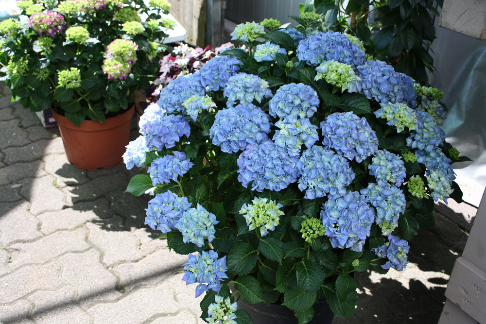 blaue Hydrangea